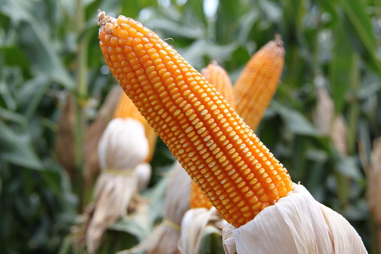 corn-774710_1280