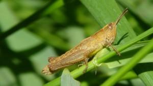 grasshopper-172010_1280